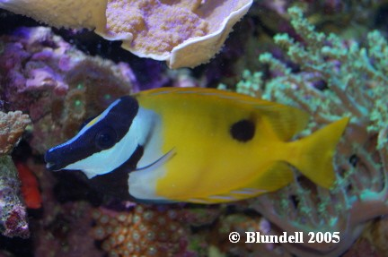 Rabbitfish2.JPG