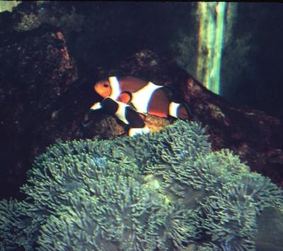 3._clownfish_spawn.JPG