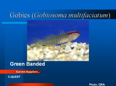 Green_banded_Goby.jpg