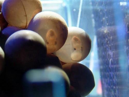 cuttlefish_image08.JPG