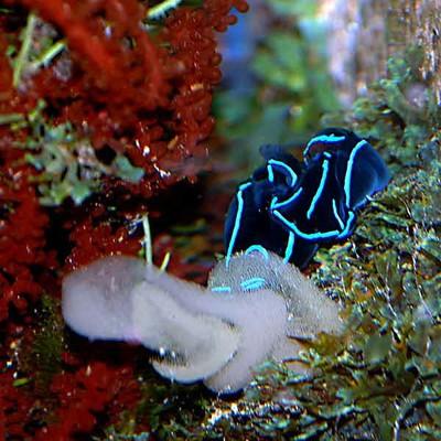 Chelidonura-pair-laying-mas.jpg
