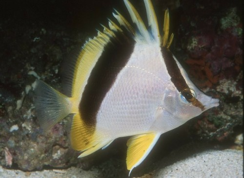 BankButterflyfish.jpg
