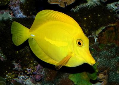 yellowtang.jpg
