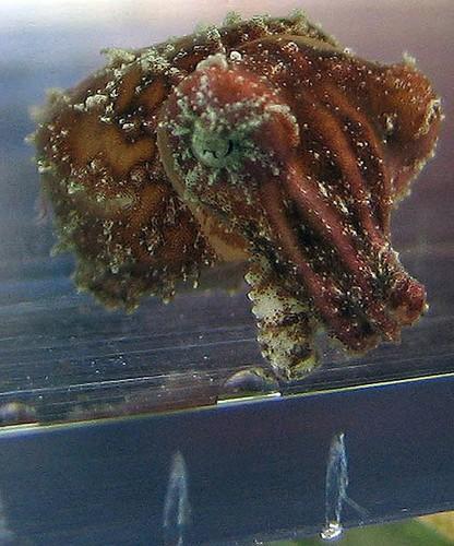 cuttlefish_image20.JPG