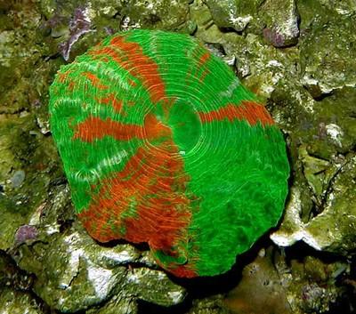 Green-Scolymia-web.jpg