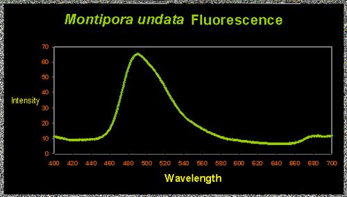 Micromelia-undata.jpg