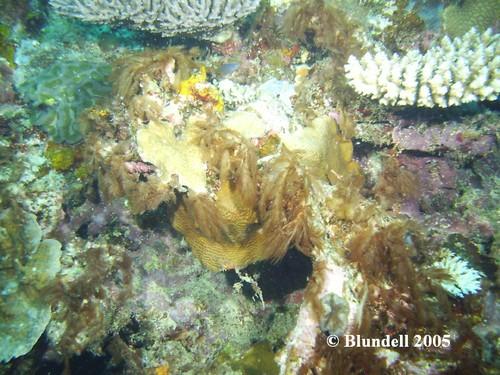 Reef Hair Algae