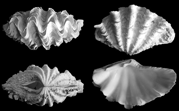 squamosina_shell.jpg