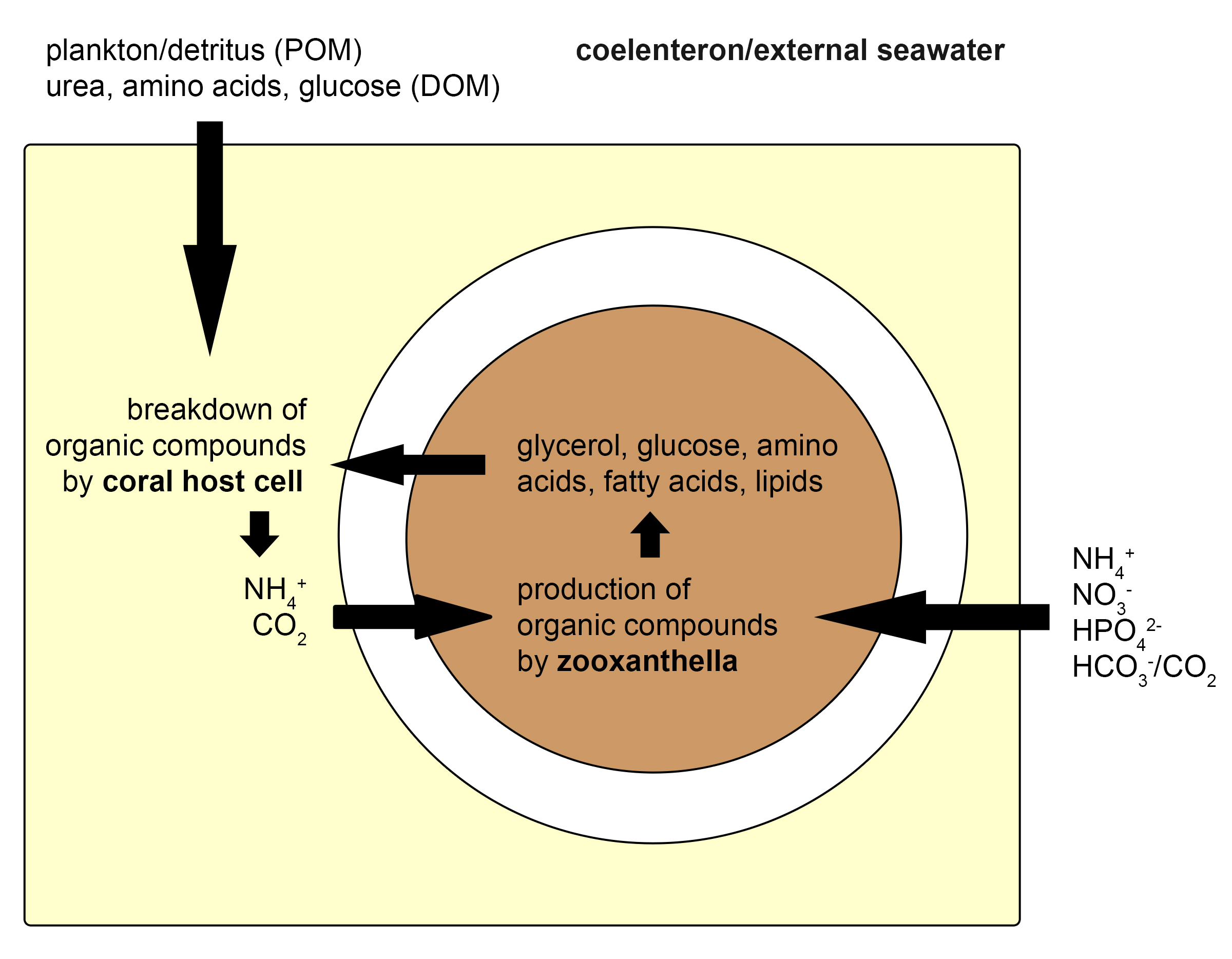 zooxanthellae_coral_nutrient_exchange.jpg