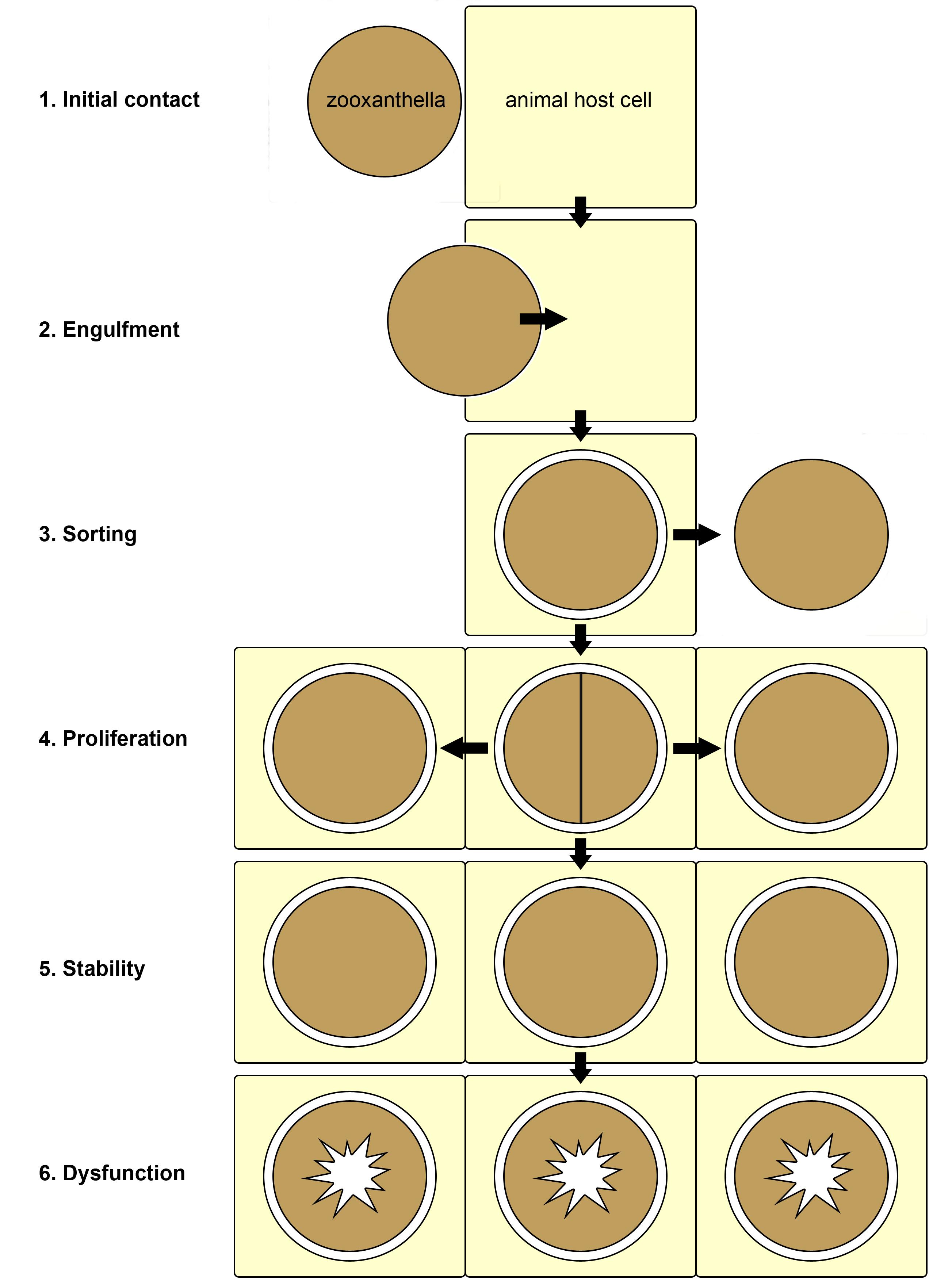 zooxanthellae_scheme.jpg
