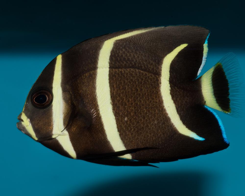 grey angelfish