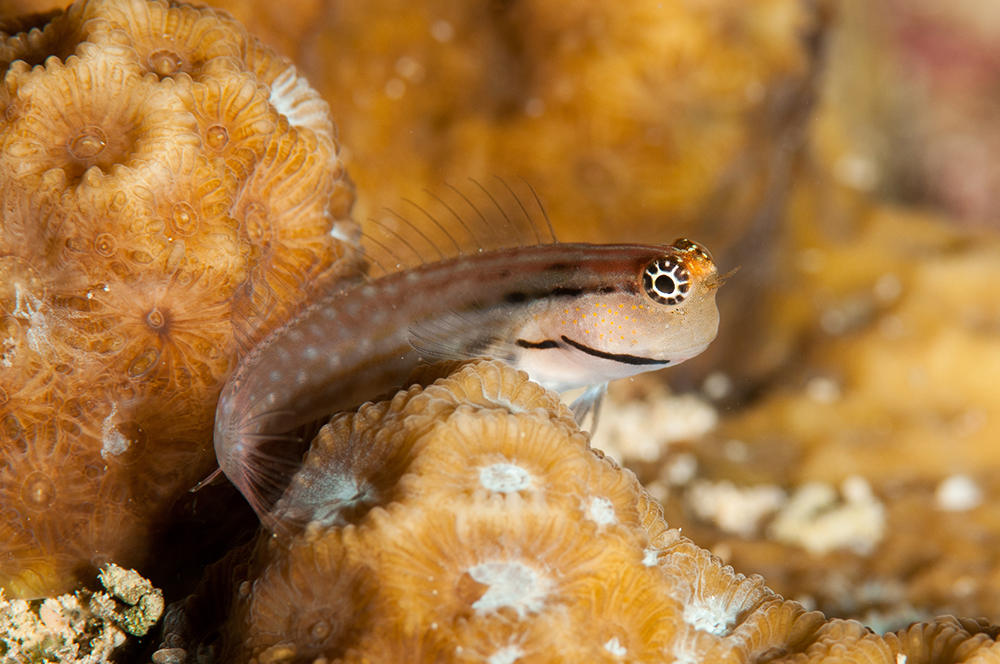 dentex blenny