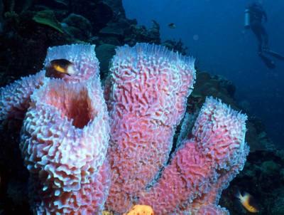 Purple_Vase_Sponge_Callyspongia_plicifera.jpg