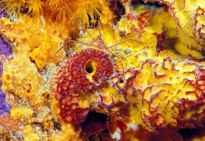 Encrusting_Sponge_Diplastrella_sp_wth_Arrow_Crab.jpg
