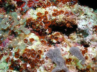 Redzoanthus.jpg