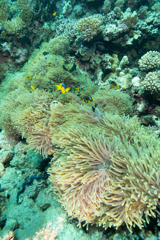 clownfish, coral