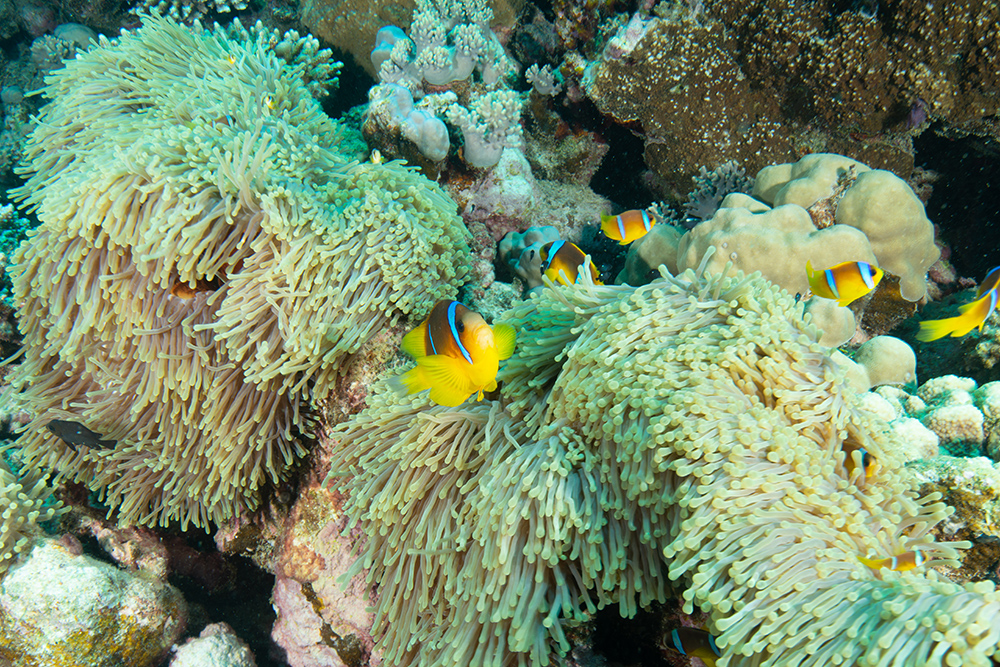 clownfish, anemone, coral