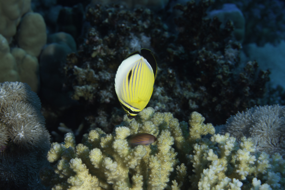 Exquisite Butterflyfish