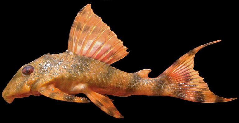 A new, red, mini pleco species