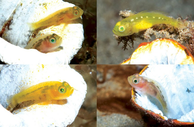 A new species of tiny goby that lives in tunicates
