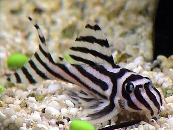 $4000 breeding fish stolen from Exeter, South Australia