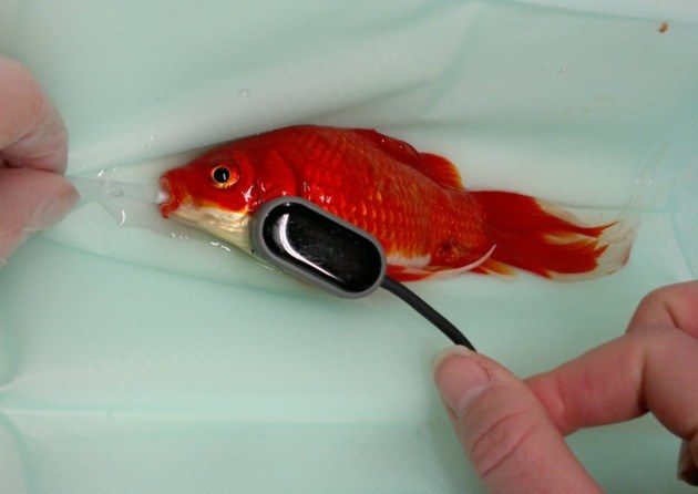 $450 operation to save a goldfish