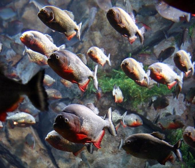 500 Baby Piranhas