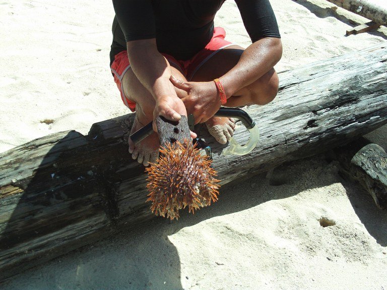 60,000 crown-of-thorns starfish removed from the Great Barrier Reef
