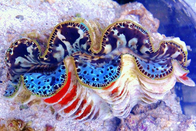 $1000 Clam With Split-Personality Disorder