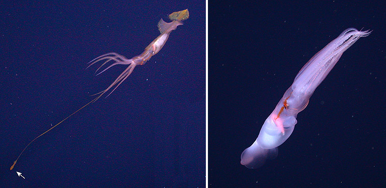 """A deep-sea squid with tentacle tips that """"swim"""" on their own"""