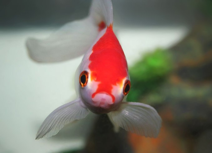 A Fish Story: Goldfish survive 134 days without feeding