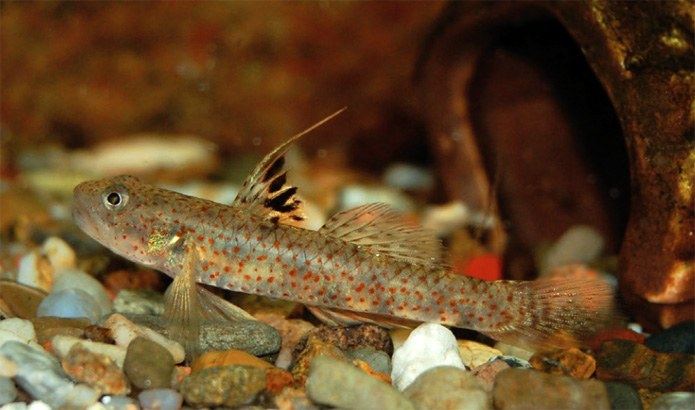A mysterious freshwater goby finally gets a name