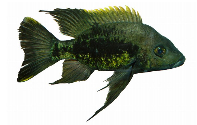 A new African cichlid: Ptychochromis mainty