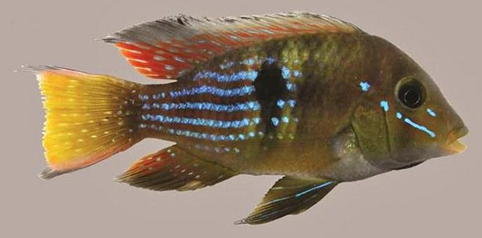 A new and unique cichlid: Gymnogeophagus terrapurpura