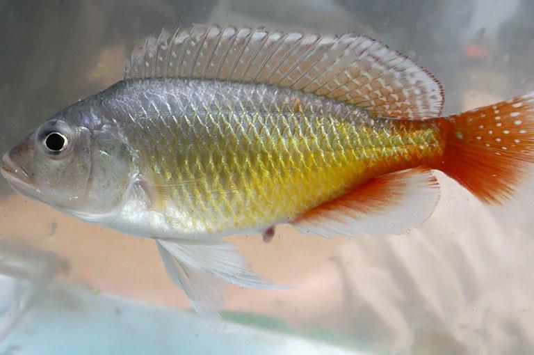 A new Congo cichlid: Pseudocrenilabrus pyrrhocaudalis