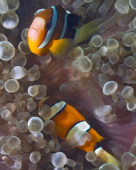 A new, fast, non-lethal method for cyanide detection in marine fish.  Is it a game changer?