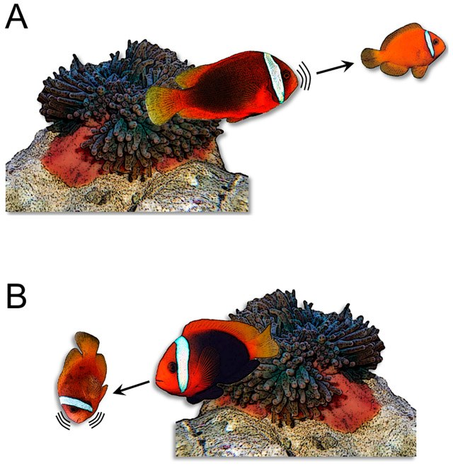 Clownfish vocalizations used to establish heirarchy and breeding status