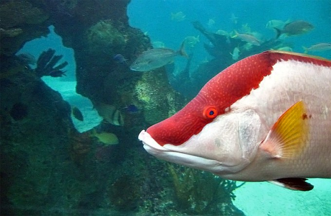 """Color-changing reef fishes """"see"""" with their skin"""