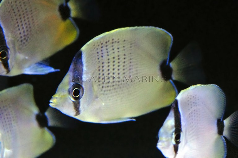 First aquacultured Lemon Butterflies now available