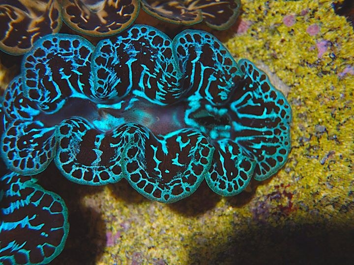 First fully aquacultured Tridacna maxima clam for auction