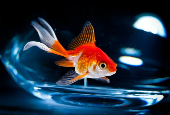 Goldfish can create alcohol to survive without oxygen