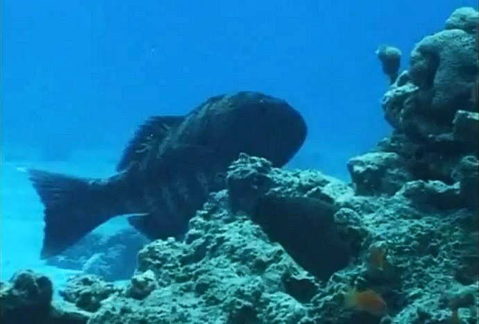 Inter-species hunting: groupers and moray eels team up for the chase [videos]