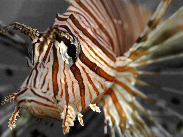 Lionfish are stealth predators to Carribbean prey