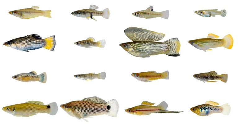 Male livebearing fish are evolving faster than females