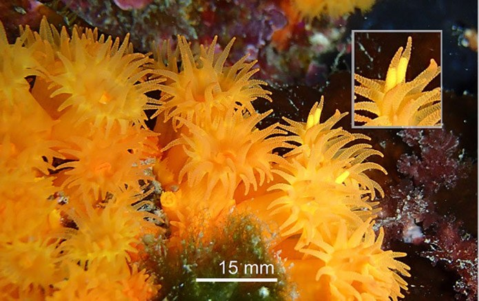 Mediterranean sun corals have an interesting method of reproduction