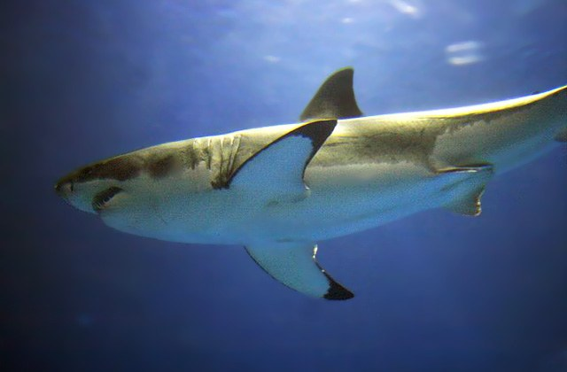Monterey Bay Aquarium to suspend collection/display of great white sharks