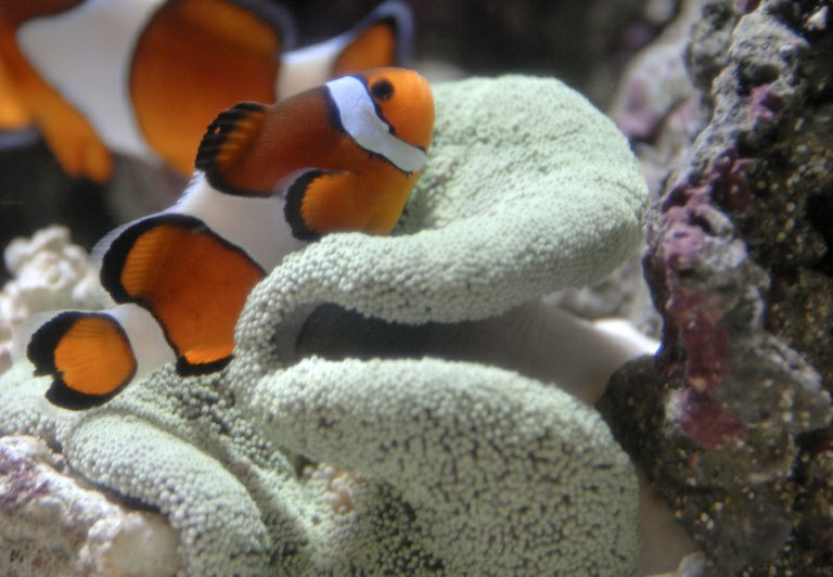 NMFS seeks public comments for status review of Percula clownfish for ESA listing