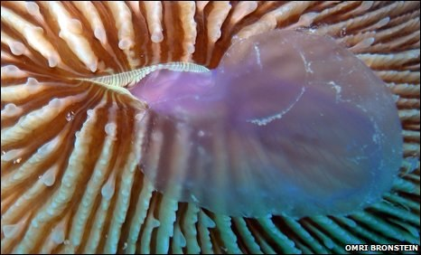 Predatory coral eats jellyfish