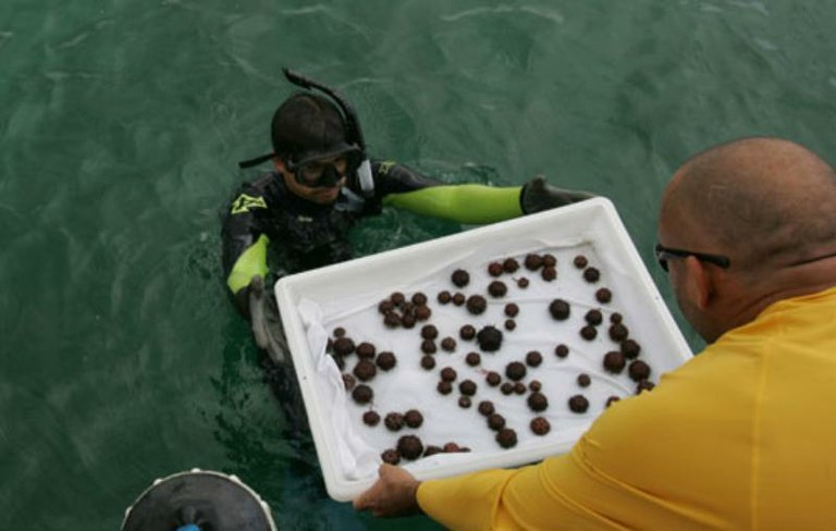Scientists Captive Breed Native Urchins to Clean Up Hawaiian Reef