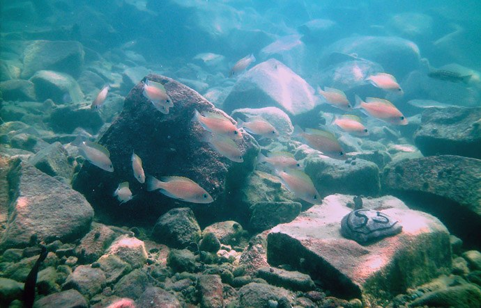 Sisters act together - Cichlid sisters swim together in order to reach the goal